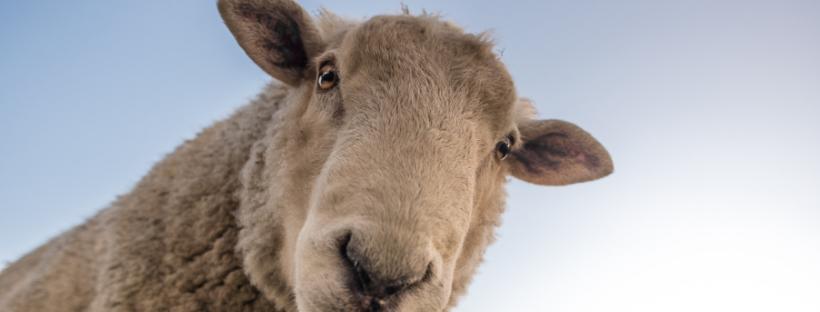 Schafwolle aus regionaler Herkunft